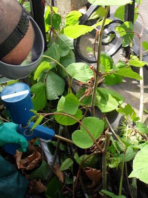 Japanese knotweed removal